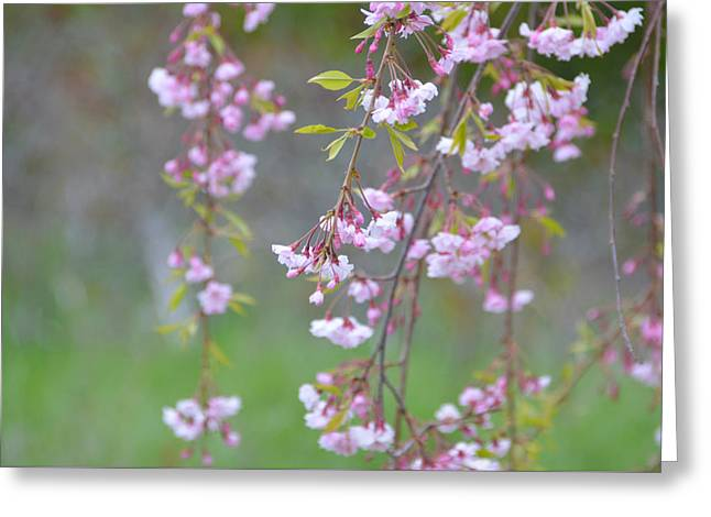 Greeting Card featuring the photograph Weeping Cherry Blossoms by SimplyCMB