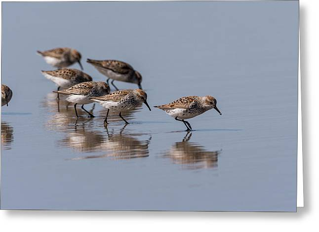 Western Sandpipers And Reflection Greeting Card