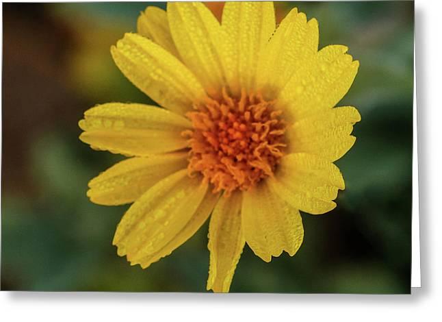Wet Desert Sunflower  Greeting Card