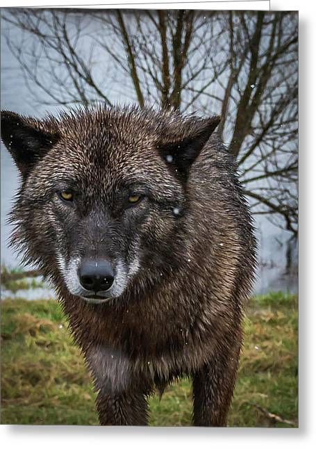 Wet Wolf Greeting Card