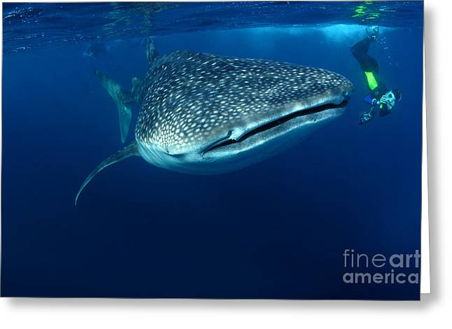 Whale Shark & Snorkeller Rhincodon Greeting Card by Davidpstephens