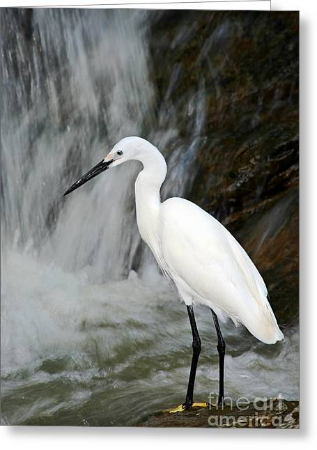 White Bird With Waterfall. Heron In The Greeting Card by Ondrej Prosicky