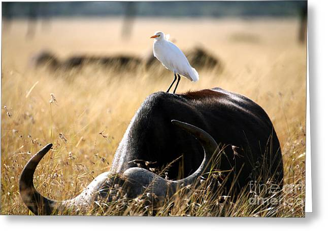 White Cattle Egret Hitching A Ride On Greeting Card