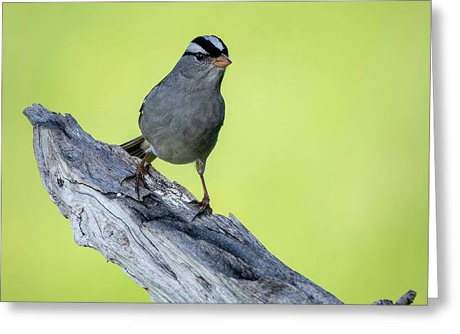White Crowned Sparrow 1 Greeting Card