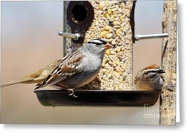 White-crowned Sparrow, Zonotrichia Greeting Card
