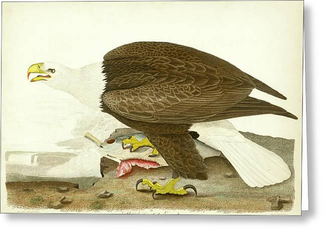 White-headed Eagle Greeting Card