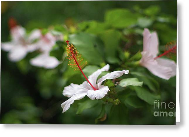 Greeting Card featuring the photograph White Hibiscus Flower by Pablo Avanzini