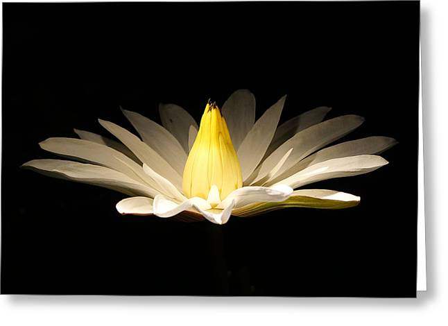 White Lily At Night Greeting Card