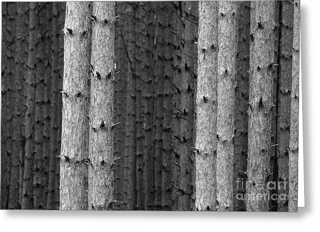 White Pines Black And White Greeting Card