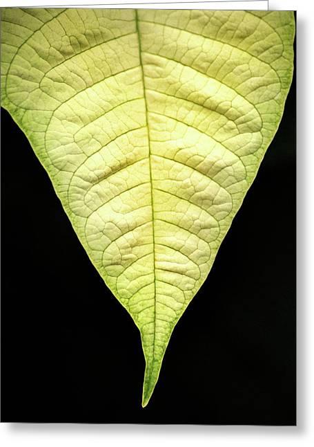 White Poinsettia Leaf Greeting Card