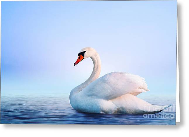 White Swan In The Foggy Lake At The Greeting Card