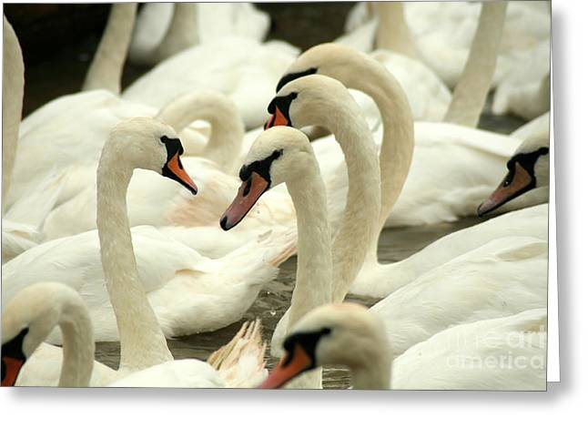 White Swans On A Canal In Stratford Greeting Card