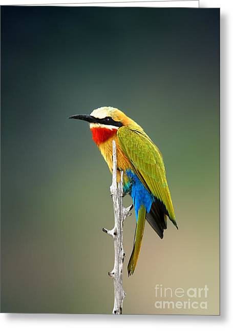 Whitefronted Bee-eater Merops Greeting Card