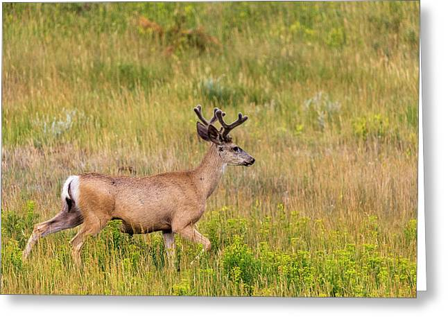 Whitetail Deer With Velvet Antlers Greeting Card