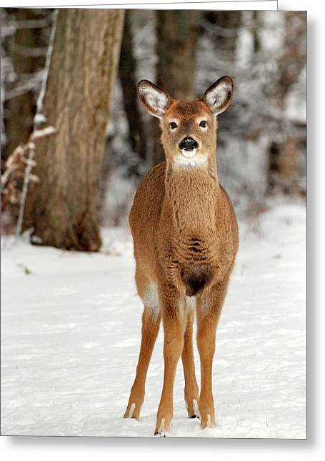 Whitetail In Snow Greeting Card