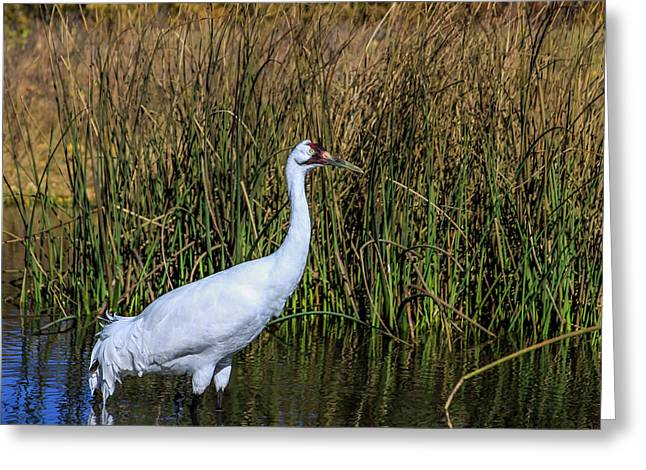 Whooping Crane In Pond Greeting Card