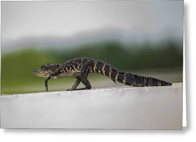 Why Did The Gator Cross The Road? Greeting Card