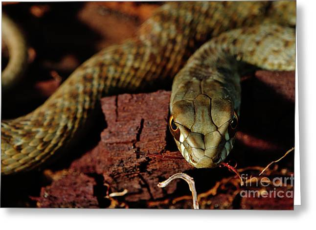 Wild Snake Malpolon Monspessulanus In A Tree Trunk Greeting Card