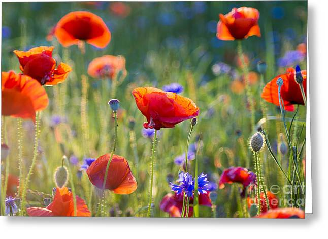 Wildflowers Poppies Greeting Card by Mike Mareen