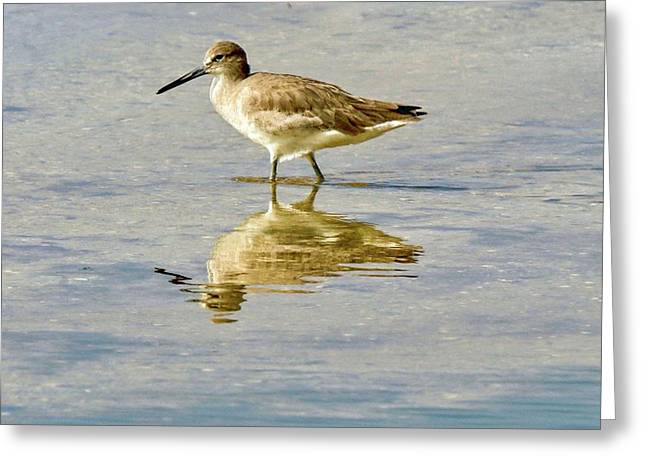Willet  Greeting Card
