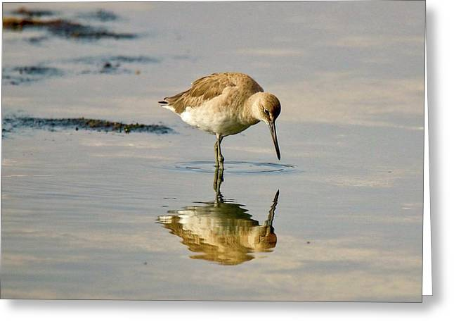 Willet Sees Its Reflection Greeting Card