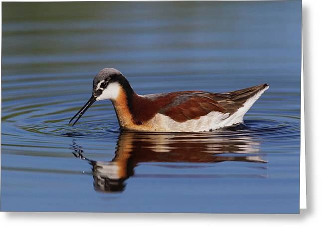 Wilson's Phalarope Foraging Greeting Card