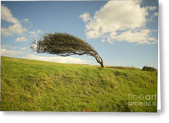 Wind Swept Common Hawthorn With Berries Greeting Card