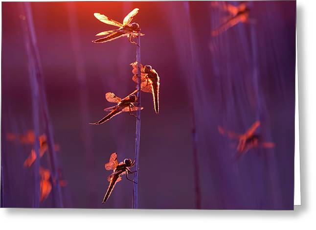 Winged Wonders - Dragonflies At Sunset Greeting Card