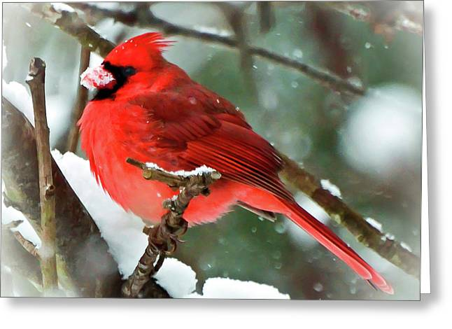 Winter Red Bird - Male Northern Cardinal With A Snow Beak Greeting Card