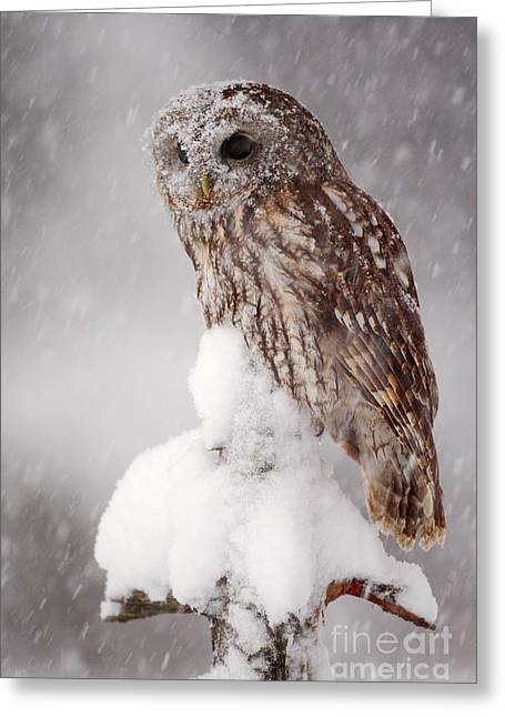 Winter Wildlife Scene With Tawny Owl Greeting Card