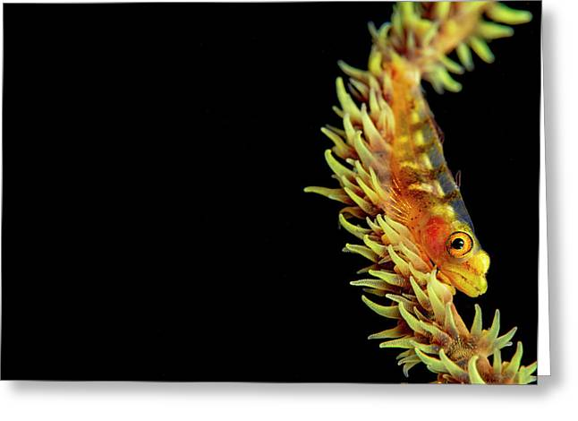 Wire-coral Goby  Bryaninops Yongei Greeting Card