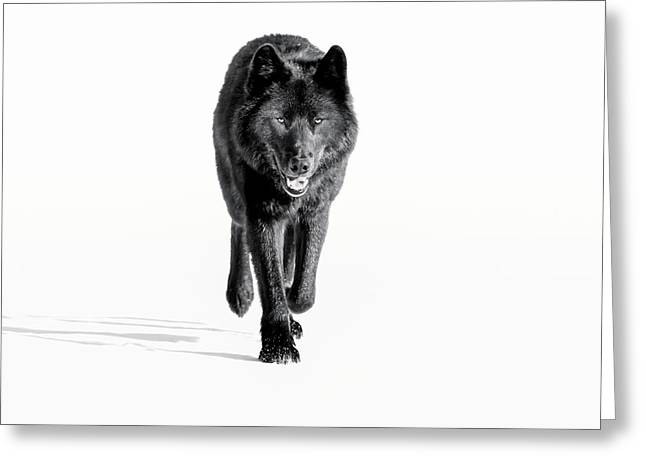 Wolf, Black Colour Phase, Typical Greeting Card
