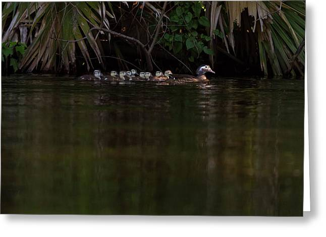 Wood Duck And Ducklings Greeting Card