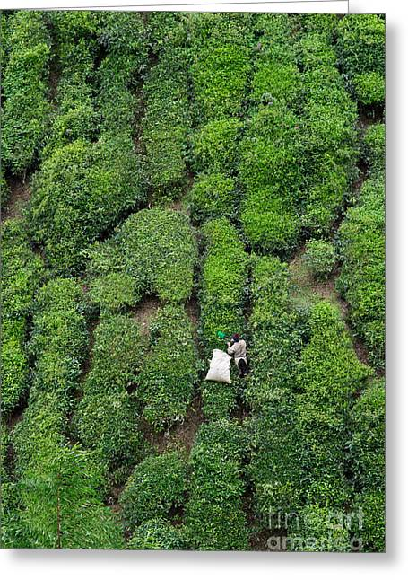 Working On The Tea Plantation In The Greeting Card
