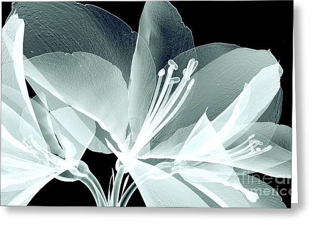 Xray Image Of A Flower  Isolated On Greeting Card