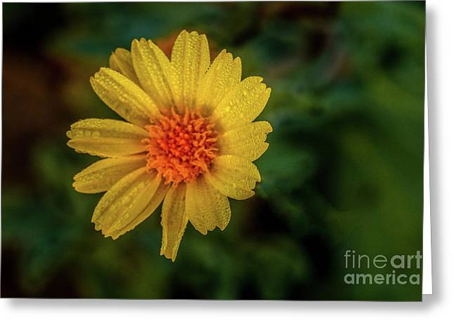 Yellow  Beauty With Raindrops Greeting Card