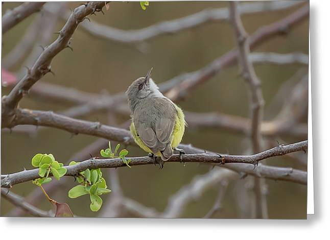 Yellow-bellied Eremomela Greeting Card