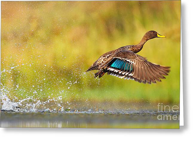 Yellow-billed Duck Taking Off From Greeting Card