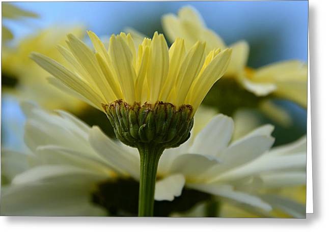 Greeting Card featuring the photograph Yellow Daisy by SimplyCMB