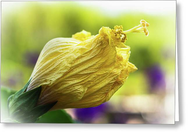 Yellow Mature Hibiscus  Greeting Card