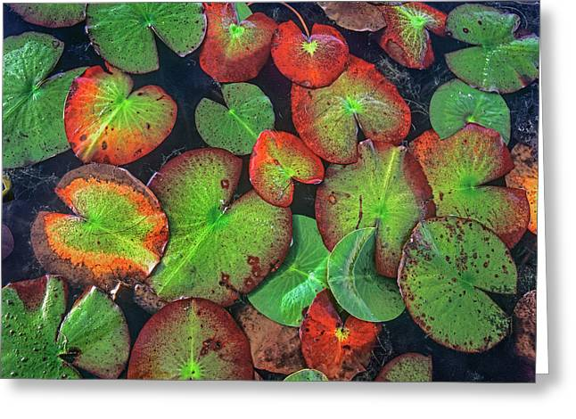 Yellow Pond Lily, Weminuche Wilderness Greeting Card
