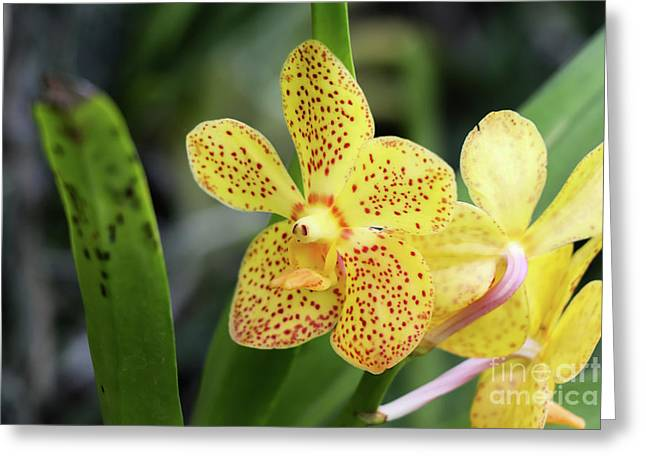 Yellow Spotted Orchids Greeting Card