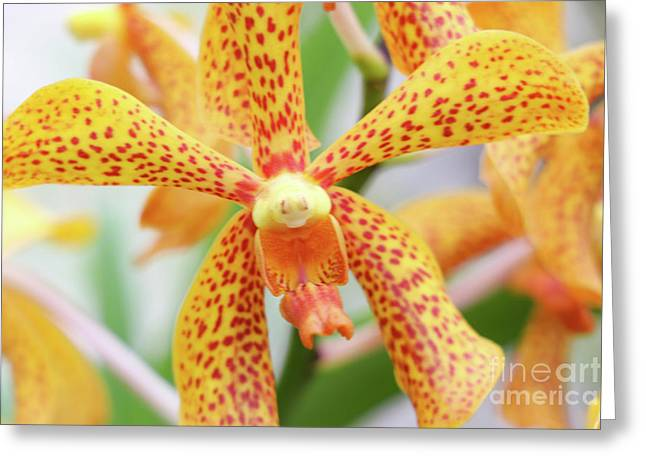 Yellow Spotted Spider Orchids Greeting Card