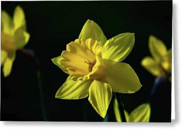 Yellow Spring Daffodils Greeting Card