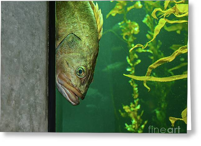 Yellowtail Rockfish Playing Peekaboo Greeting Card
