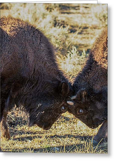 Greeting Card featuring the photograph Young Bison by Pete Federico