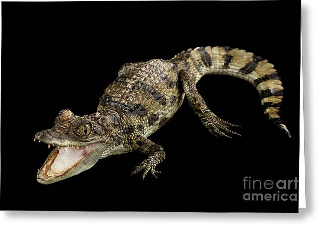 Young Cayman Crocodile, Reptile With Opened Mouth And Waved Tail Isolated On Black Background In Top Greeting Card