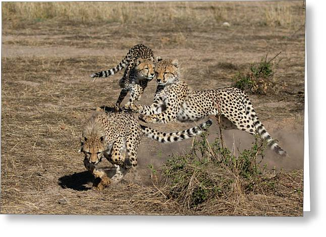Young Cheetahs Greeting Card