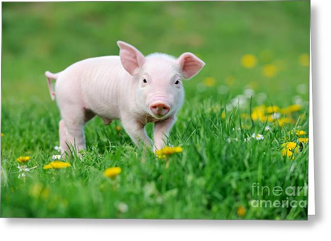 Young Funny Pig On A Spring Green Grass Greeting Card