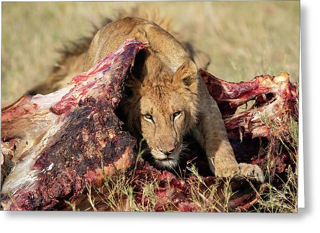 Young Lion On Cape Buffalo Kill Greeting Card